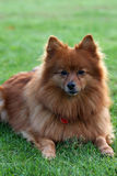 Pomeranian. Dog of the small spitz variety laying on green grass Stock Photography