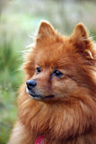 Pomeranian. Portrait of a beautiful pomeranian dog of the small spitz variety in profile and close-up Stock Photo