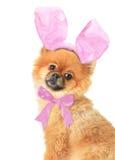 Pomeranian Image stock