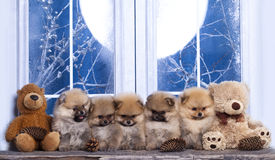 Pomeranian as the Bears. On the background of a winter window Royalty Free Stock Images
