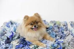 Pomeranian auf blauer Wolldecke Lizenzfreie Stockfotografie