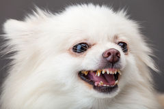 Pomeranian bark Royalty Free Stock Photo