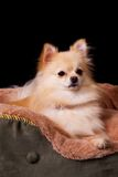 Pomeranian in Bed royalty free stock images