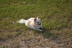 Pomeranian bianco Fotografie Stock