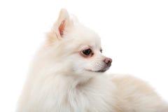 Pomeranian blanc regardant un autre côté photographie stock