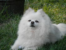Pomeranian blanco Fotos de archivo