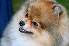 Pomeranian bonito Imágenes de archivo libres de regalías