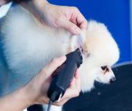 Pomeranian bonito do corte de cabelo do Groomer no serviço do cabelo Fotografia de Stock Royalty Free