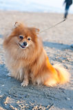 Pomeranian breed dog on a leash Royalty Free Stock Image
