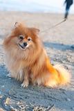 Pomeranian breed dog on a leash. Pomeranian dog breed on the beach Royalty Free Stock Image
