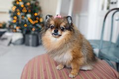 The Pomeranian is a breed of dog of the Spitz type. often known as a Pom. Pet sitting on a chair. best and faithful. The Pomeranian is a breed of dog of the Royalty Free Stock Photo
