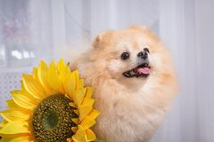 Pomeranian is a breed of small domestic dogs. stock photography