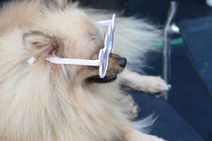 Pomeranian brown dog wearing glasses Royalty Free Stock Images