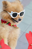 Pomeranian brown dog wearing glasses  sitting on tricycle Royalty Free Stock Photography