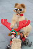 Pomeranian brown dog wearing glasses  sitting on tricycle Stock Images