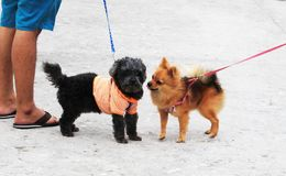 Pomeranian Brown and friend walking with the owner. royalty free stock images