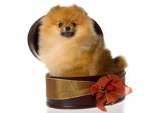 Pomeranian in brown gift box Royalty Free Stock Photo