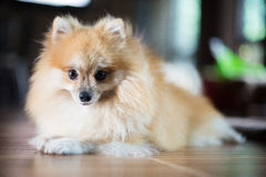 Pomeranian. Brown Pomeranian sit on floor Stock Photo
