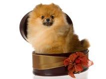 Pomeranian in bruine giftdoos Royalty-vrije Stock Foto