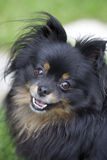 Pomeranian Chihuahua Cross Dog. Image of a black and brown pomeranian chihuahua cross dog Royalty Free Stock Photos