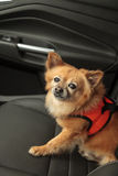 Pomeranian and Chihuahua mix dog goes for a ride Royalty Free Stock Image