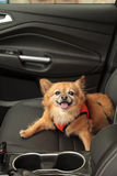 Pomeranian and Chihuahua mix dog goes for a ride Royalty Free Stock Photo