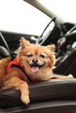 Pomeranian and Chihuahua mix dog goes for a ride Royalty Free Stock Images