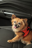 Pomeranian and Chihuahua mix dog goes for a ride Royalty Free Stock Photos