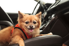 Pomeranian and Chihuahua mix dog goes for a ride Stock Photography
