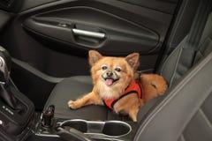 Pomeranian and Chihuahua mix dog Stock Photography