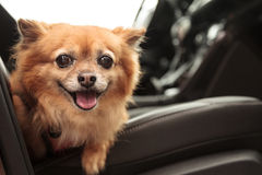 Pomeranian and Chihuahua mix dog Royalty Free Stock Photo