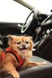 Pomeranian and Chihuahua mix dog Royalty Free Stock Photography