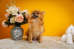 Pomeranian, chiots, huent Photographie stock libre de droits