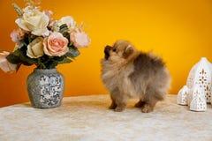 Pomeranian, chiots, huent Photo stock