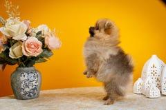 Pomeranian, chiots, huent Image libre de droits