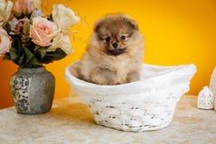 Pomeranian, chiots, huent Image stock
