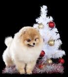 Pomeranian with Christmas tree Royalty Free Stock Photo
