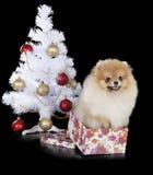 Pomeranian with Christmas tree Royalty Free Stock Photography