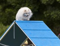 Pomeranian Climbing the Dog Agility A-Frame royalty free stock photography