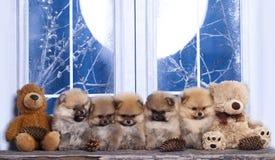 Pomeranian como os ursos Imagens de Stock Royalty Free