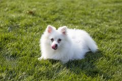 Pomeranian. Is a compact, short backed, active toy dogs, scientific name hador Li Department of the  commonly known as British , is a German Spitz, German royalty free stock photography