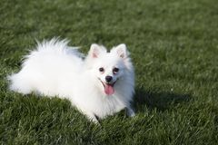 Pomeranian. Is a compact, short backed, active toy dogs, scientific name hador Li Department of the  commonly known as British , is a German Spitz, German stock images