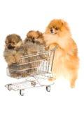 Pomeranian con 2 cuccioli in mini carrello del negozio Immagini Stock