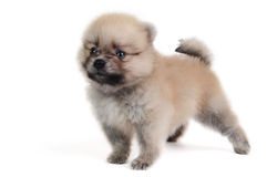 Pomeranian cream puppy Stock Images