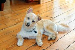 Pomeranian Cross Breed Dog Stock Images