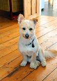 Pomeranian Cross Breed Dog Coton De Tulear Stock Image