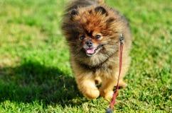Pomeranian Stock Photos