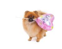 Pomeranian, das Liebe hält, die Sie im Ballon aufsteigen Stockbild