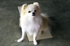 Pomeranian di seduta Fotografie Stock
