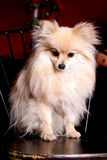 Pomeranian diminuto Imagem de Stock